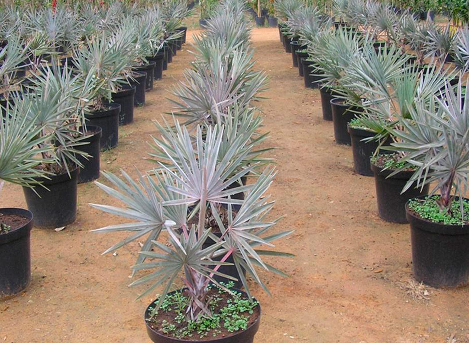 Palmeira Azul - Bismarckia nobilis  c728b1ff0c059
